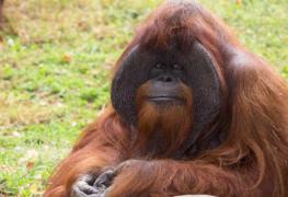 Familia de orangutanes de Miami se gana retiro en reserva para grandes simios